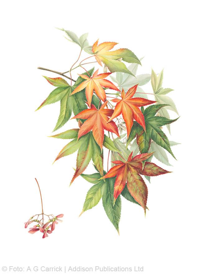 Japanischer Fächerahorn im Highgrove-Florilegium (Tafel 77)