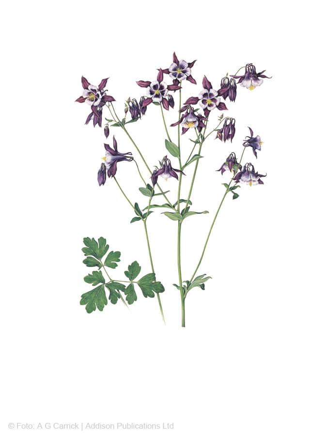 Kurzspornige Akelei im Highgrove-Florilegium (Tafel 31)