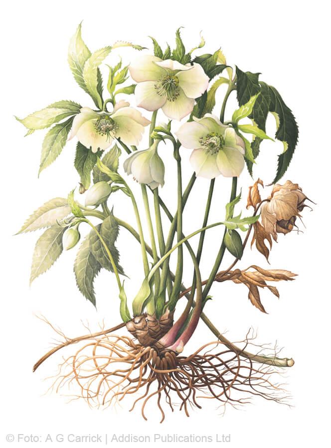 Orientalische Nieswurz im Highgrove-Florilegium (Tafel 35)