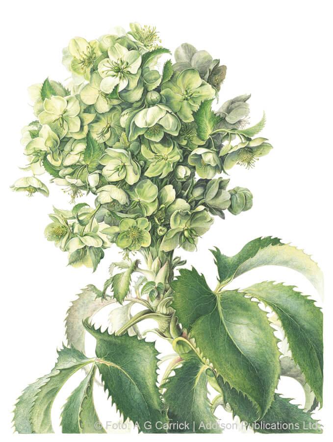 Korsische Nieswurz im Highgrove-Florilegium (Tafel 34)